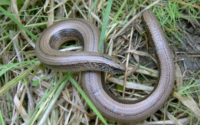 New Home for Slow Worms
